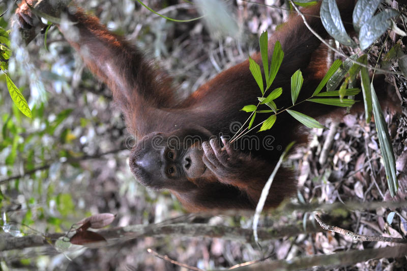 Portrait of the young orangutan. royalty free stock photography