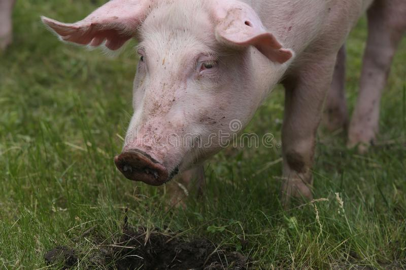 Portrait of a young pig at animal farm on green grass meadow. Domestic duroc breed pig head shot at animal farm on pasture royalty free stock photos
