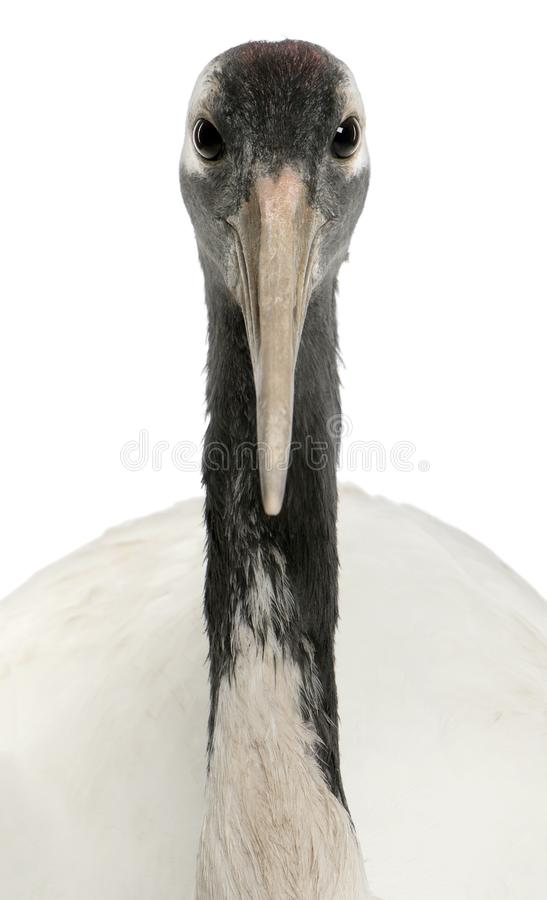 Portrait of Young Red-crowned Crane, Grus japonensis stock photography