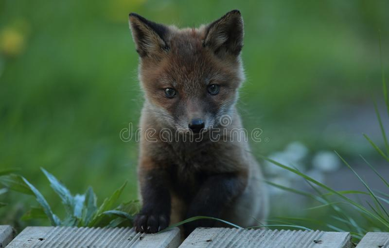Red fox cub portrait stock image