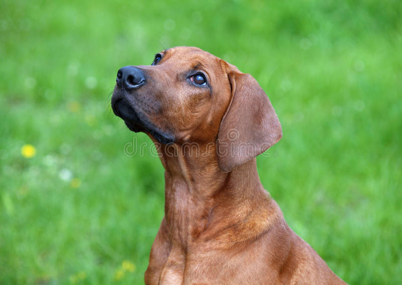Portrait of a young Rhodesian Ridgeback royalty free stock photos