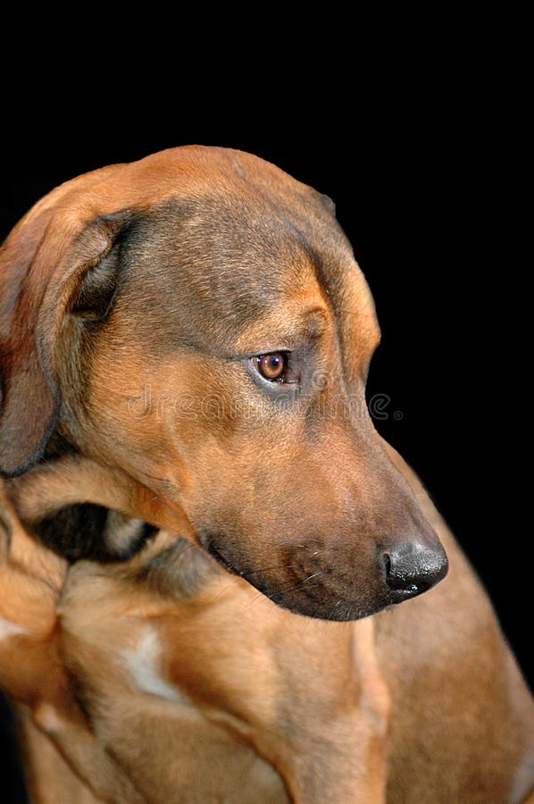 Portrait of a young Rhodesian Ridgeback on black royalty free stock images
