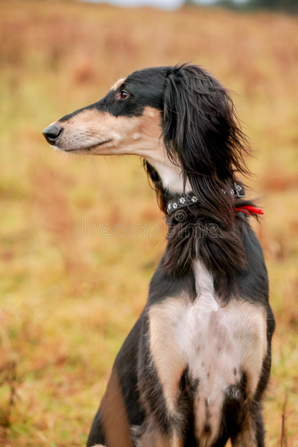 Portrait of young saluki. On autumn meadow royalty free stock images