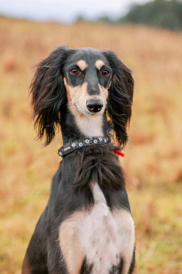Portrait of young saluki. On autumn meadow stock photography