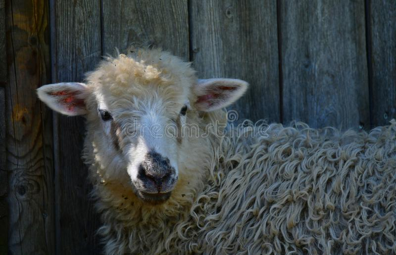 Portrait of a young sheep. Portrait of a young white sheep with a black nose in front of a stable stock image