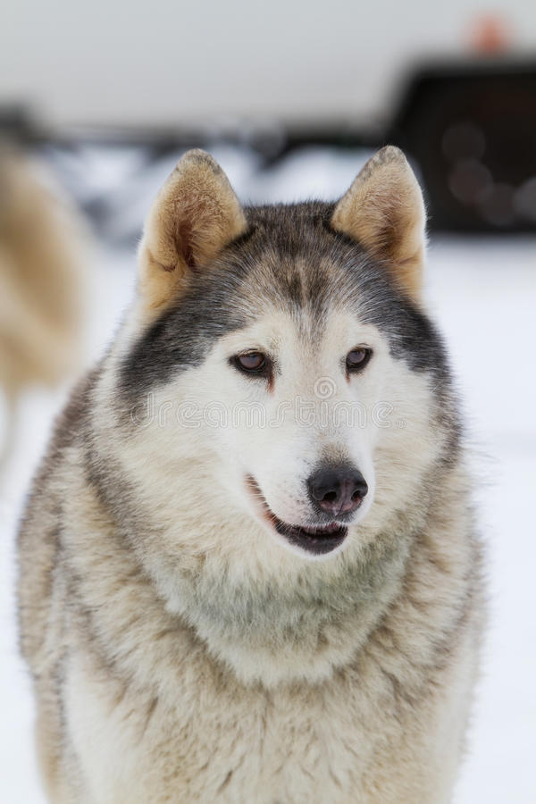 Portrait Young siberian Husky on snow royalty free stock images