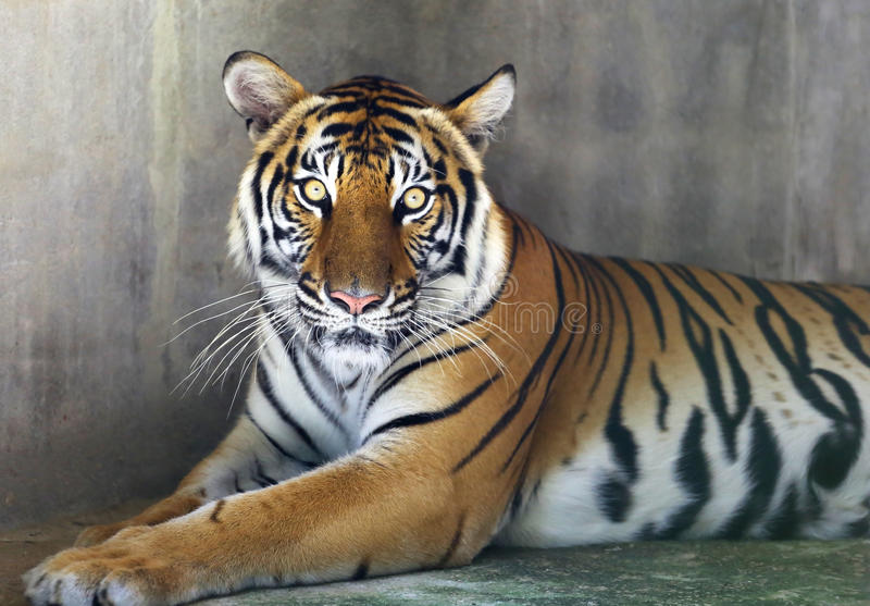 Portrait of tiger. A portrait of a young tiger stock photos