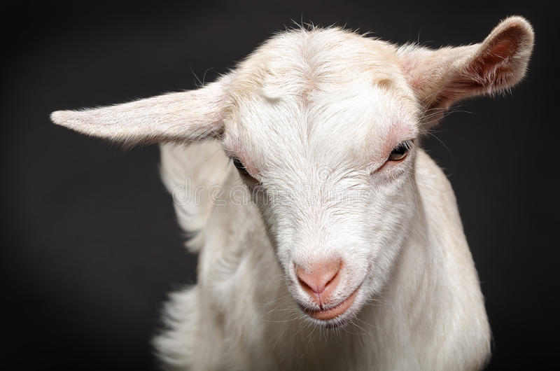 Portrait of a young white goat royalty free stock photo