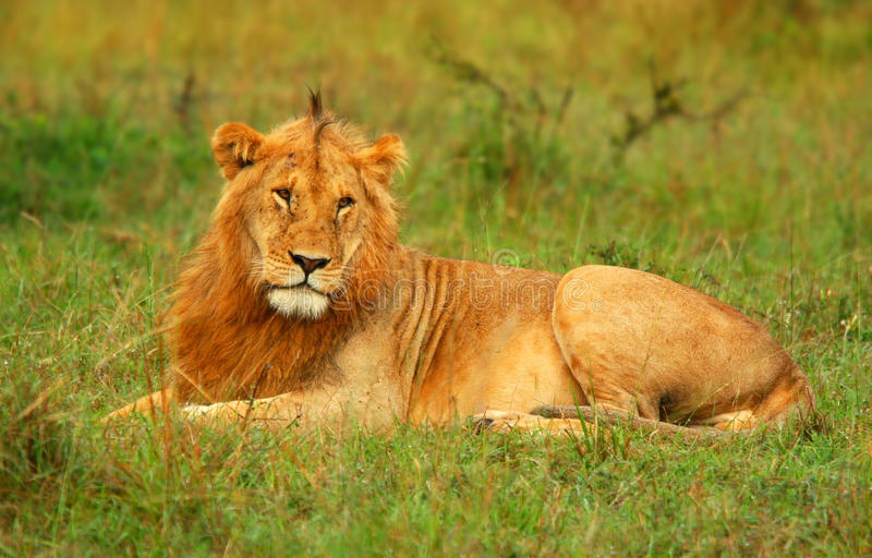 Download Portrait Of Young Wild African Lion Stock Image - Image of hunter, park: 10342703