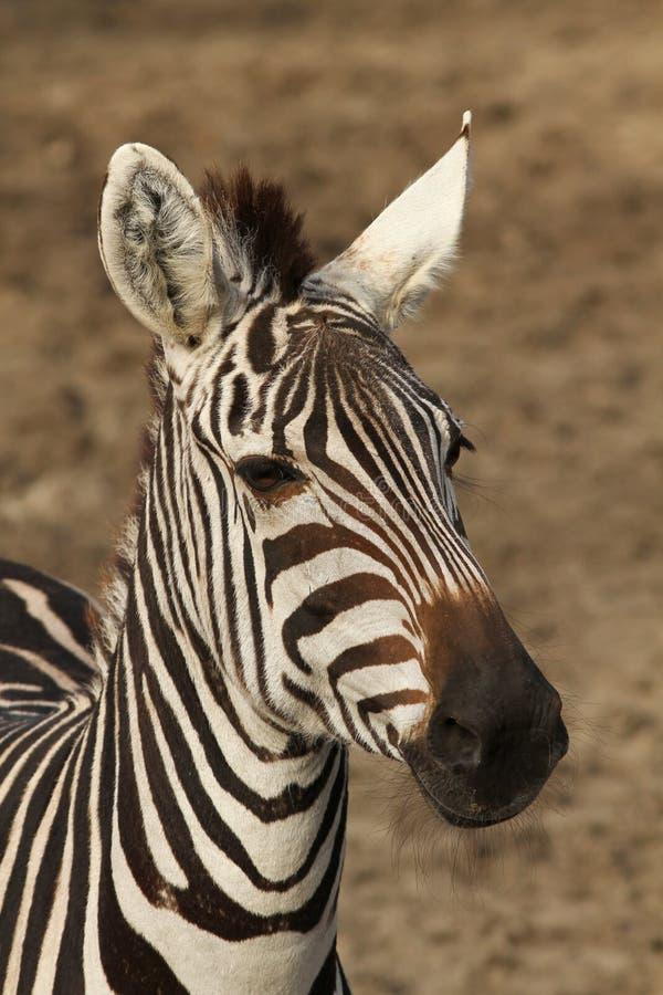 Portrait of a zebra royalty free stock photo