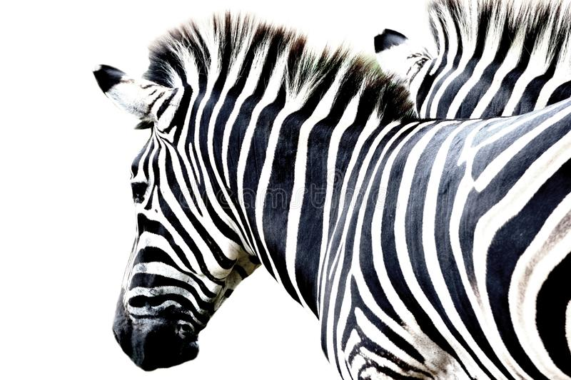 Portrait zebra standing isolated on white background stock photography