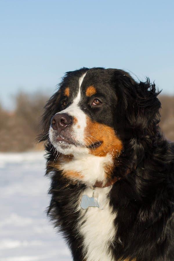 Portraite del perro de Bernese foto de archivo