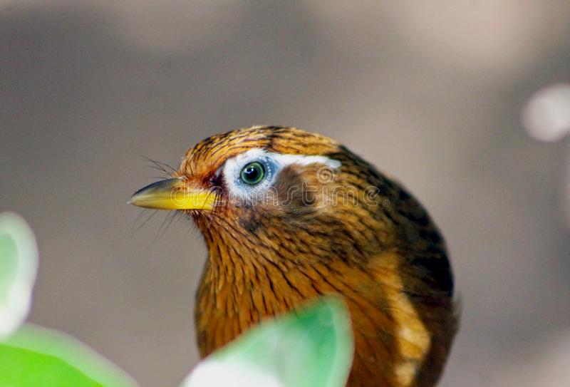 Portraits of Chinese Huamei bird, Garrulax canorus. Portraits of Chinese Huamei bird with its unique eyebrow features. The Chinese hwamei or melodious stock photography