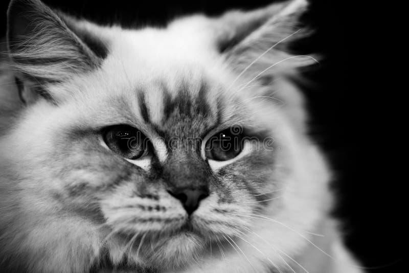 Portraits noirs et blancs mignons d'animaux de chat birman images libres de droits