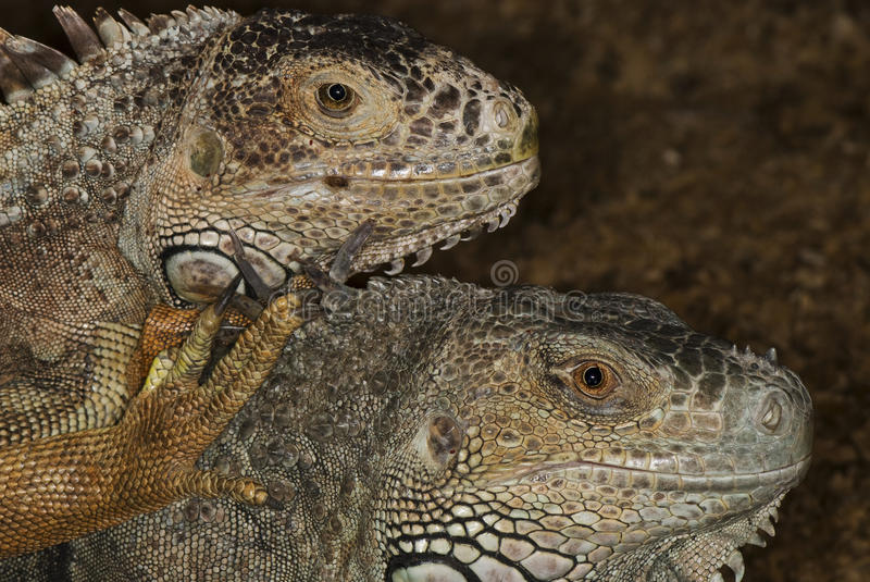 Download Portraits of two iguanas stock image. Image of lizard - 38262283