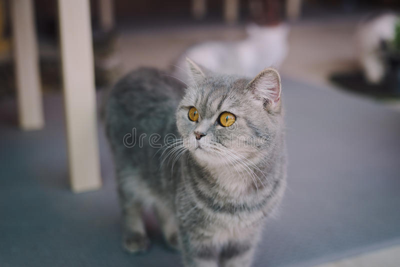A portraiture of a cat in the room filled with soft light and use a soft focus. Main focus is on the eyes while WB is shifted inte. Ndedly. Relax and comfort.cat royalty free stock photos