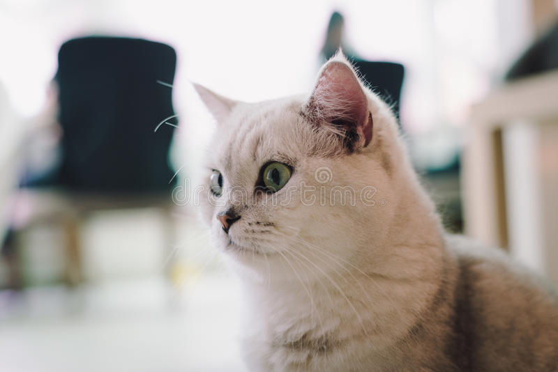 A portraiture of a cat in the room filled with soft light and use a soft focus. Main focus is on the eyes while WB is shifted inte. Nedly. Relax and comfort.cat royalty free stock image