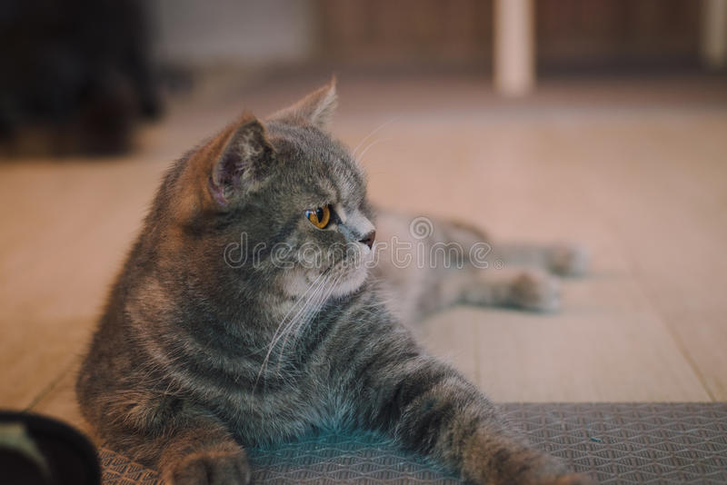 A portraiture of a cat in the room filled with soft light and use soft focus. The main focus point is at the eyes. Photo was taken with intended to shift WB stock image