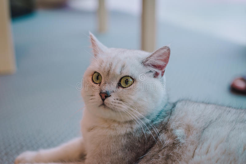 A portraiture of a cat in the room filled with soft light and use a soft focus. Relax and comfort. Cat royalty free stock photos