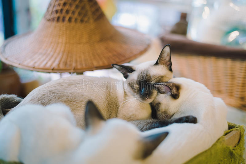 A portraiture of a cat in the room filled with soft light and use a soft focus. Relax and comfort. Cat stock photos