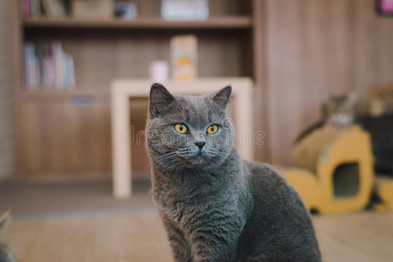 A portraiture of a cat in the room with soft light and soft focus. The main focus is on the eyes while the white balance is intend. Ed shift. Relax, safe and royalty free stock photo