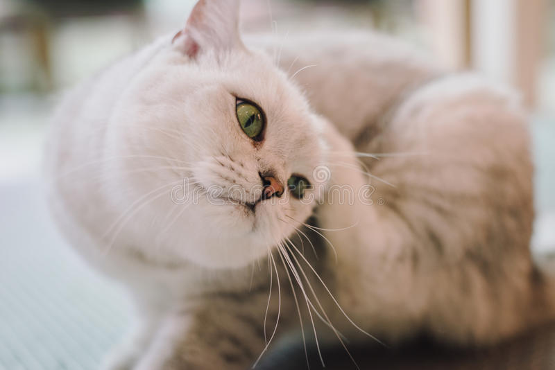 A portraiture of a cat in the room with soft light and soft focus. The main focus is on the eyes while the white balance is intend. Ed shift. Relax, safe and royalty free stock photography