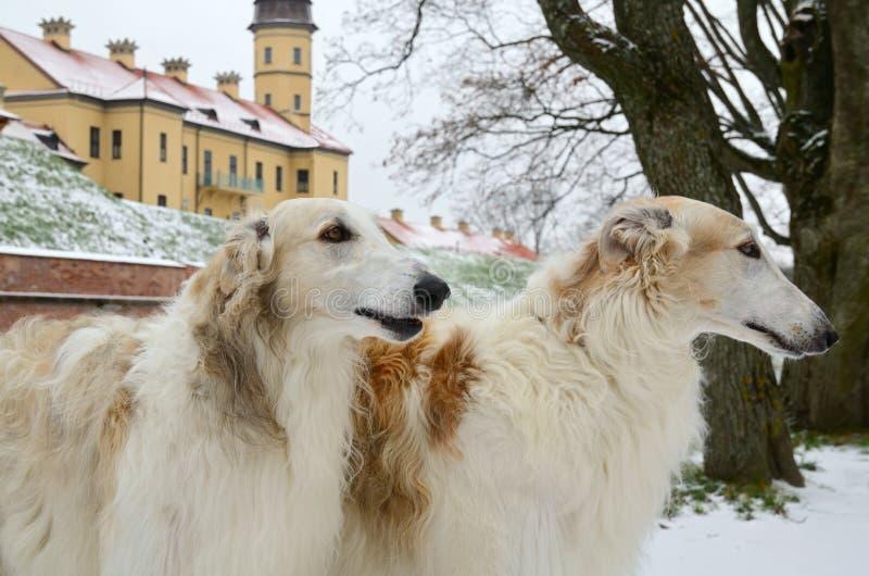 Portrate de dos perros del galgo ruso fotos de archivo