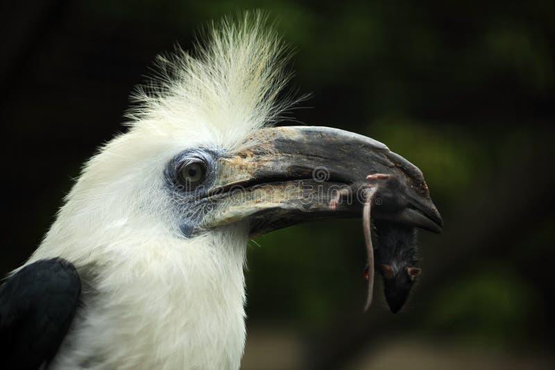 Portratit ptak Koronująca dzioborożec, Berenicornis comatus z myszą w rachunku, fotografia stock