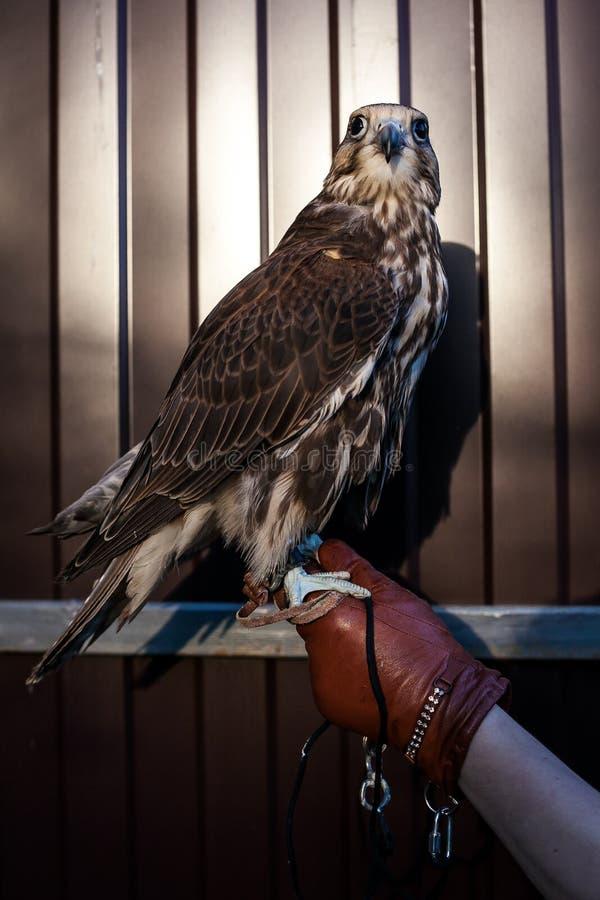 Portreit de faucon de Saker photos libres de droits