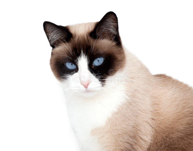 Portren del gatto della racchetta da neve, una nuova razza che proviene da U.S.A., isolato su fondo bianco immagini stock libere da diritti