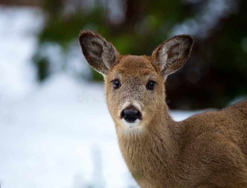 portretów jeleni potomstwa obrazy stock