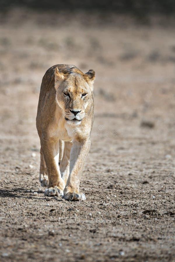 Portret Żeńska lwica, Panthera Leo fotografia royalty free