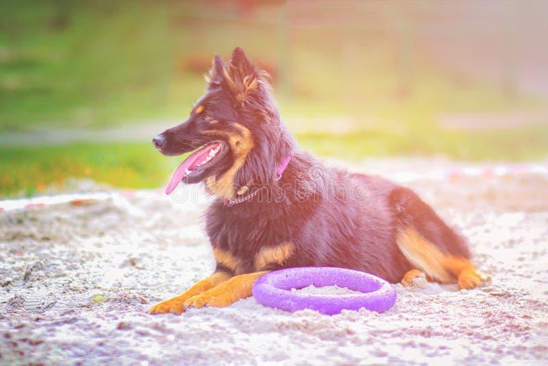 Portret łgarski pies Traken jest Artystycznym bacą Bawić się z purpura pierścionku zabawką zdjęcia royalty free