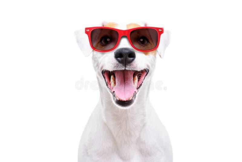 Portret śmieszny psi Jack Russell Terrier w okularach przeciwsłonecznych zdjęcia stock