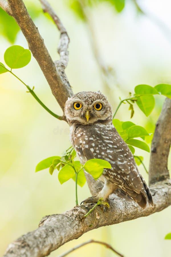 Portret Łaciasty owlet obraz stock