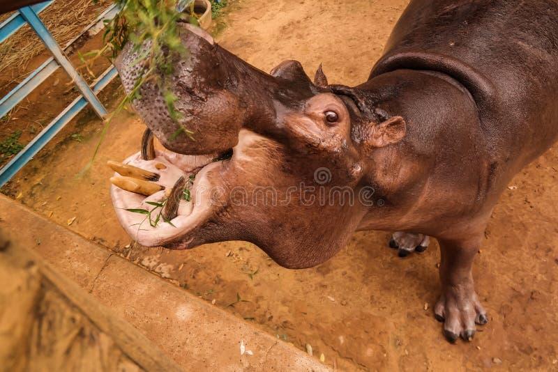 Portret łasowanie hipopotam w Niamey przy Niger obraz royalty free