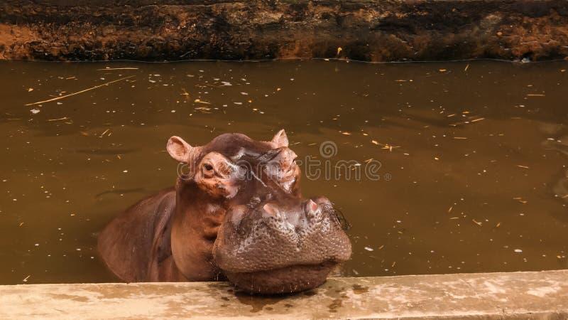 Portret łasowanie hipopotam w Niamey przy Niger fotografia royalty free