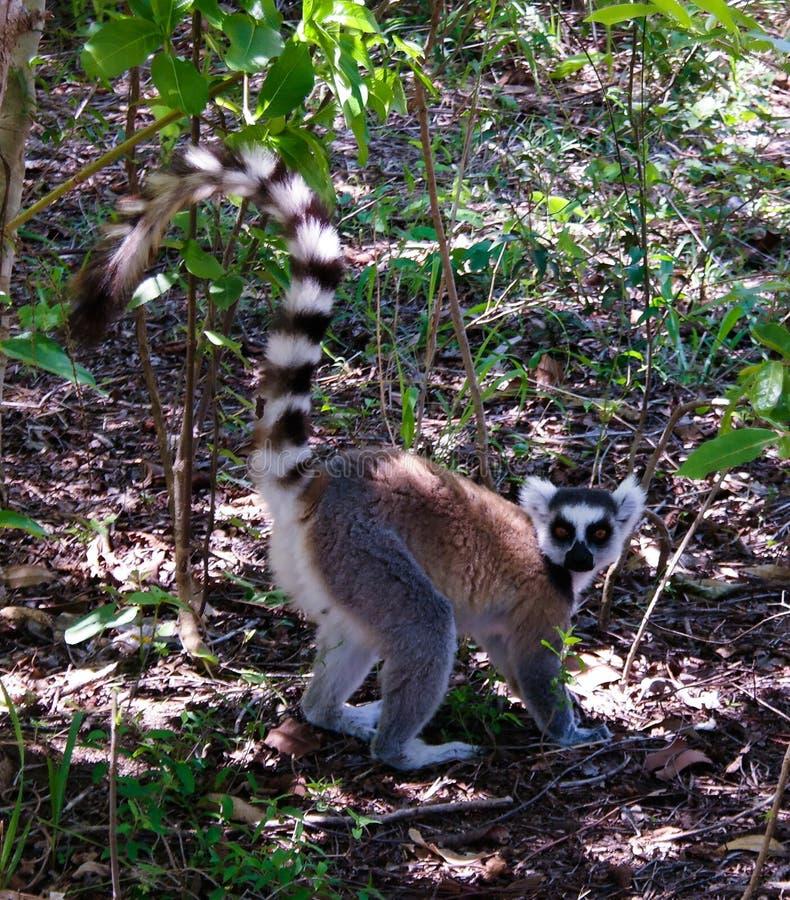 Portret łasowanie ogoniasty lemur Manambolo, Ambalavao, Madagascar zdjęcia stock