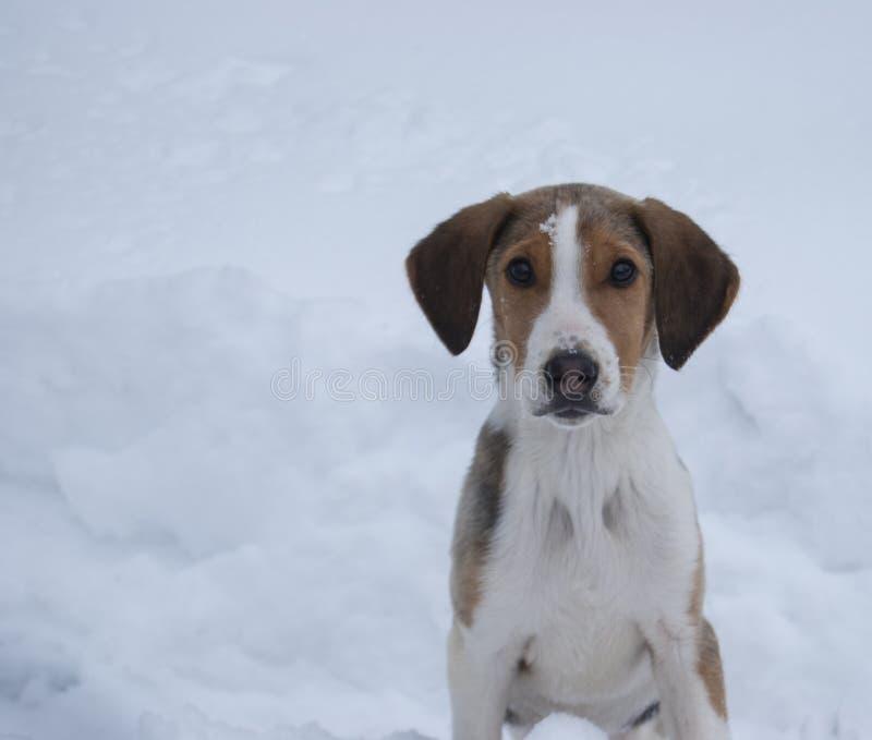 Portret łowiecki traken psa piebald Rosyjski ogar fotografia stock