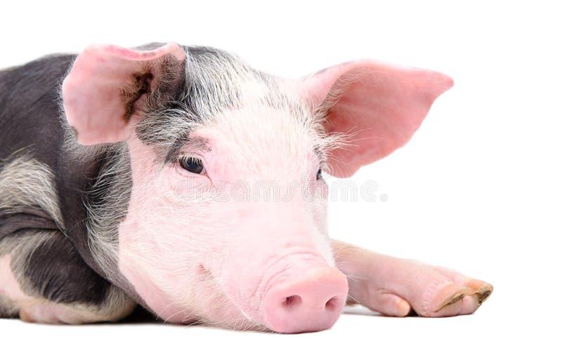 Portret śliczna świnia obraz stock