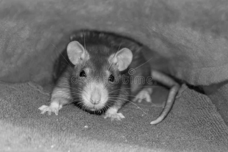 Portret śliczna puszysta młoda szczur szarość z podbite oko sepiowym skutkiem w górę spojrzeń przy kamerą zdjęcia royalty free