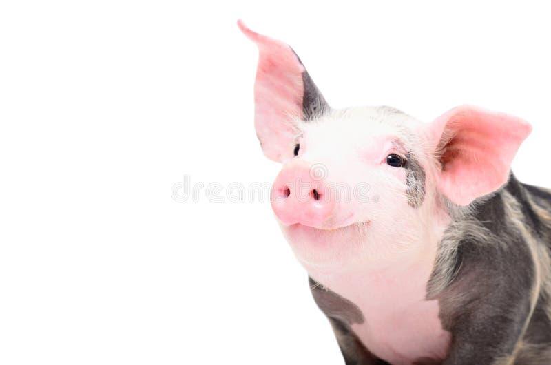 Portret śliczna rozochocona świnia obrazy stock