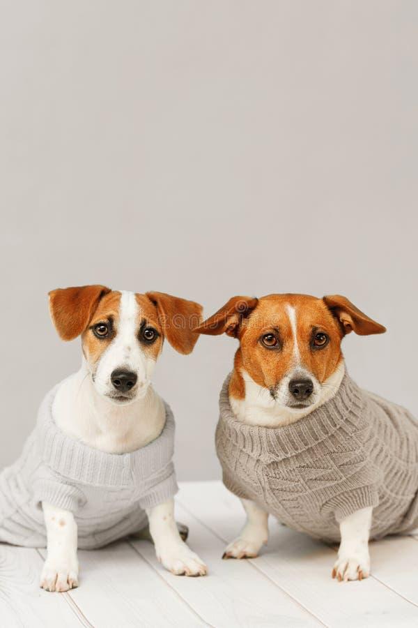 Portret śliczni psy w trykotowych bluzkach, pracownianej fotografii Jack Russell szczeniak i jego mamie, zdjęcia stock