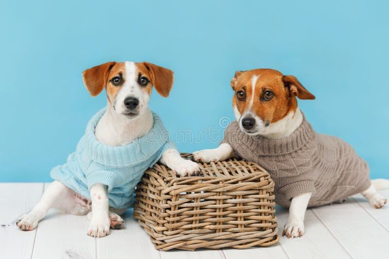 Portret śliczni psy w trykotowych bluzkach, pracownianej fotografii Jack Russell szczeniak i jego mamie, obraz stock