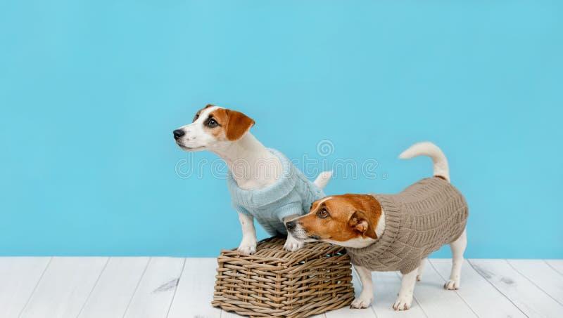 Portret śliczni psy w trykotowych bluzkach, pracownianej fotografii Jack Russell szczeniak i jego mamie, zdjęcie stock