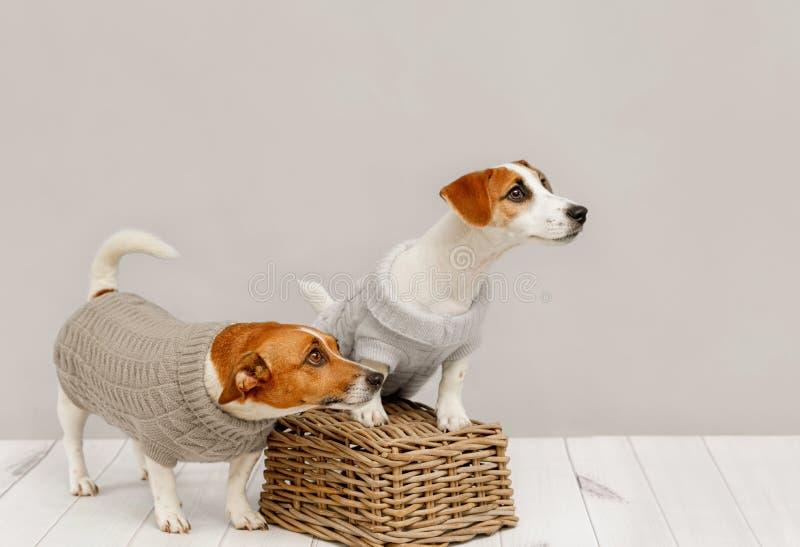 Portret śliczni psy w trykotowych bluzkach, pracownianej fotografii Jack Russell szczeniak i jego mamie, zdjęcia royalty free