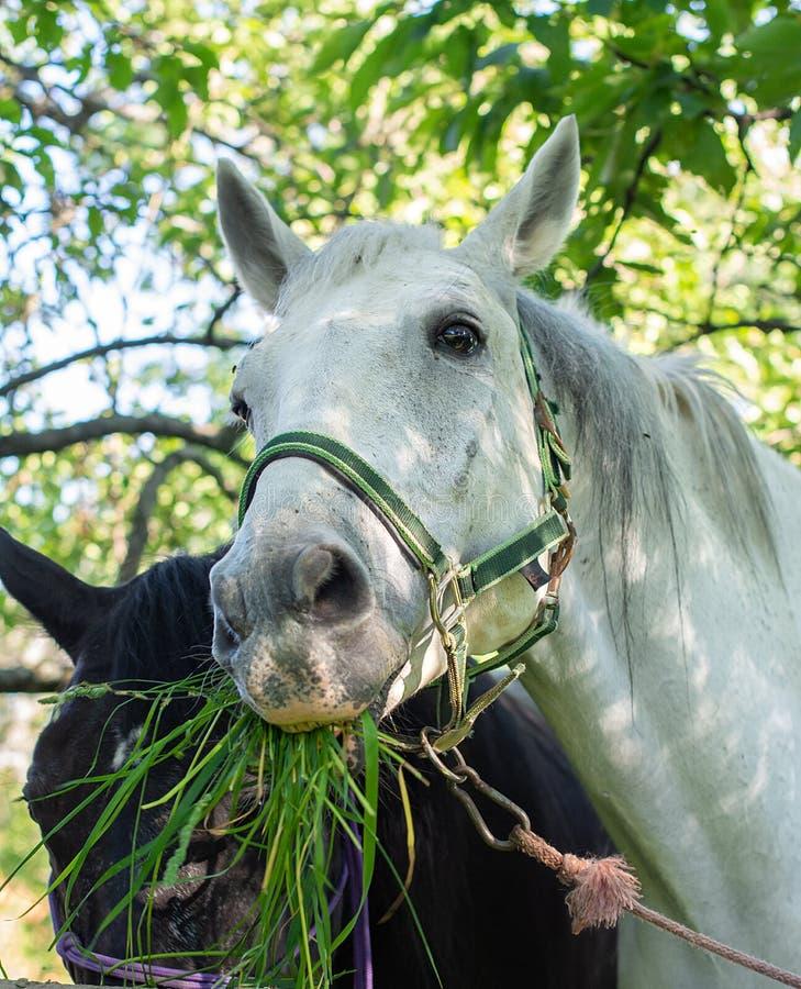 Portret śliczny biały koń podczas gdy ona łasowanie trawa zdjęcie stock