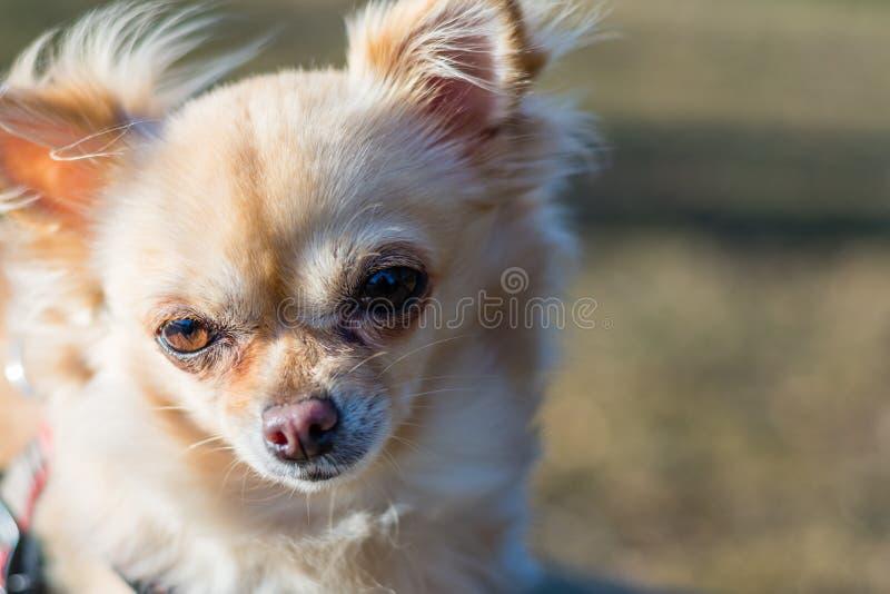 Portret śliczny chihuahua, zakończenie strzał, psi patrzeć wokoło zdjęcia stock