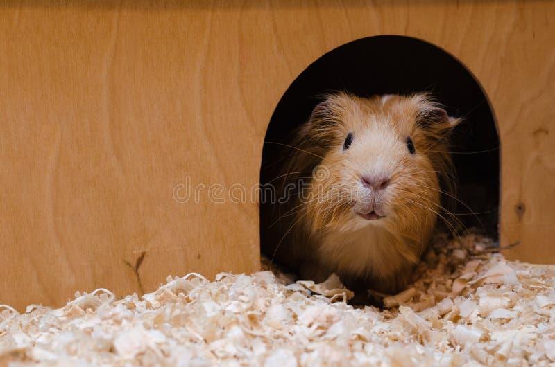 Portret śliczny czerwony królik doświadczalny fotografia stock