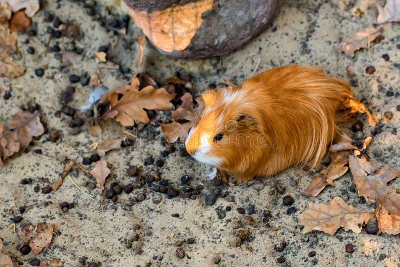 Portret śliczny czerwony królik doświadczalny lub Cavia porcellus zdjęcia royalty free